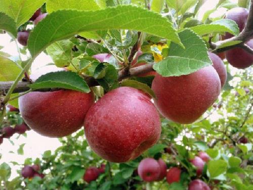 ябълки на дърво