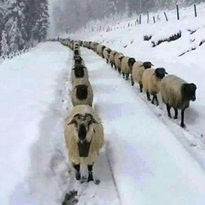 ovce_v_snega